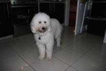Maire-Hélêne's fluffy dog Balthazar