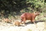 Capybara's