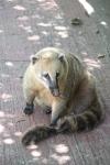 Sneaky little fellah... A coatie